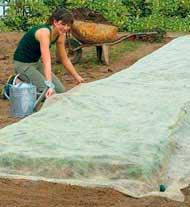 Пример укрытия растений белым агроволокном СУФ 17 без дуг (по растениям)